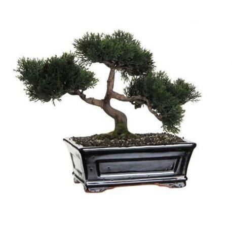 Bonsai Decorativ Cedar